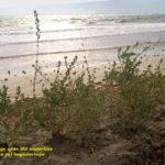 Siepe frangivento sulla spiaggia di Mazara del Vallo